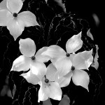 Hartriegelblüte (BW: grüne->schwarz)