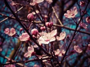 almond-blossom-1229138_1280kleiner